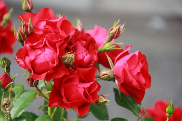Rose Red Meidiland2